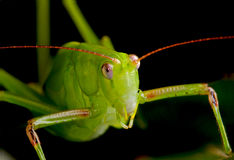Grasshopper Up Close Stock Image