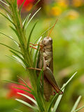 Grasshopper, vertical Stock Photo