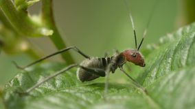 Grasshopper is very similar to the dangerous ant. Mimicry in nature of Thailand Stock Photo