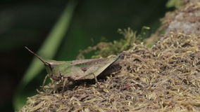 Grasshopper stock footage