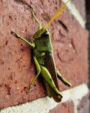 Grasshopper. On the wall Stock Photos