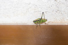 Grasshopper on wall Stock Images