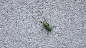 Grasshopper on the wall. Green grasshopper on the wall Stock Photo