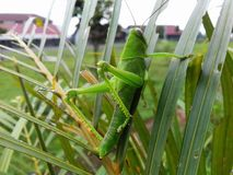 A grasshopper was relaxing on a leaf. Cool mornings, bright green Stock Photography