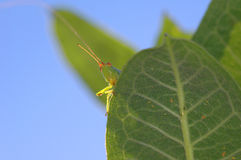 Grasshopper Watch Royalty Free Stock Photos