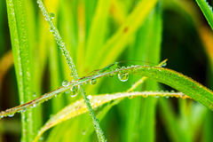Grasshopper with water droplets Stock Image