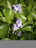 Grasshopper on water hyacinth Stock Image