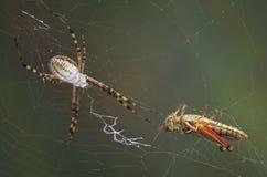 Grasshopper in the web Stock Photo