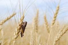 Grasshopper in Wheat Royalty Free Stock Images