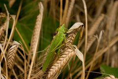 Grasshopper on wheat Royalty Free Stock Photos