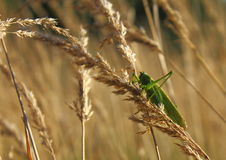 Grasshopper on wheat Stock Images
