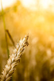 Grasshopper on a wheat ear Royalty Free Stock Photography