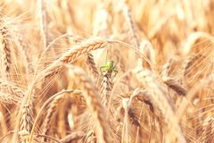 A grasshopper on a wheat Royalty Free Stock Photos