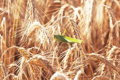 A grasshopper on a wheat Stock Images