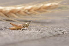 Grasshopper and wheat Stock Photography