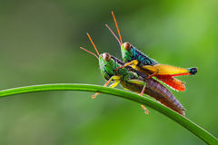Grasshopper which was above the limb Royalty Free Stock Photos