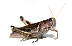 Grasshopper on White Stock Images