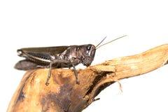 Grasshopper on White Stock Photos