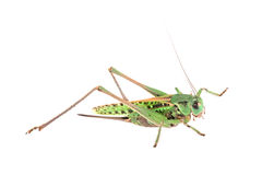 Grasshopper on white Royalty Free Stock Photos