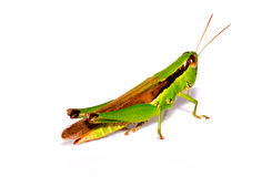 A grasshopper on  white background Stock Images