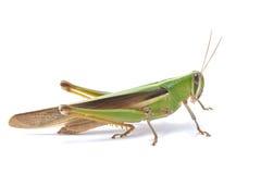 Grasshopper. Stock Images