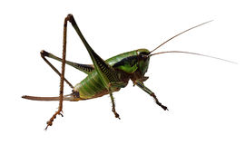 Grasshopper  on white Royalty Free Stock Images
