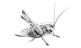 Grasshopper on white background Royalty Free Stock Photography
