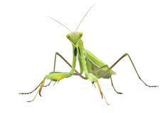 Grasshopper on white background Royalty Free Stock Images