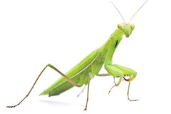 Grasshopper on white background Royalty Free Stock Photography