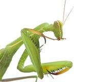 Grasshopper on white background Royalty Free Stock Photo