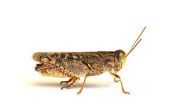 Grasshopper on the white Stock Photography