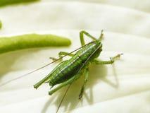 Grasshopper on white leaf of Hosta plant Stock Images