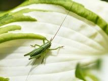 grasshopper on white leaf of Hosta plant Royalty Free Stock Images