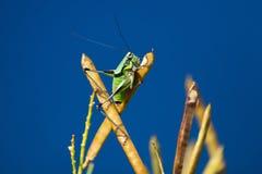 Grasshopper. Wild grasshopper in Corfu in Greece Stock Photos
