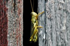 Grasshopper on wood Royalty Free Stock Image