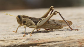Grasshopper on a wooden plate from side Stock Photo