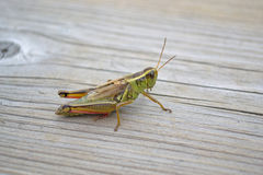 Grasshopper On Wooden Walkway Of Conservation Area. Grasshopper sitting on wooden walkway of conservation area. This grasshopper is native to Ontario. Plant Royalty Free Stock Image