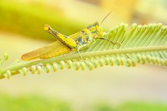 Grasshopper yellow on branch of trees with copy space add text select focus with shallow depth of field Royalty Free Stock Photos