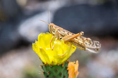 Grasshopper and Yellow Flower Stock Photography