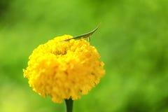 Grasshopper on yellow flower Royalty Free Stock Photo
