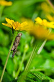 Grasshopper and yellow flower in green nature Stock Photos