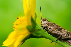 Grasshopper and yellow flower in green nature Royalty Free Stock Image