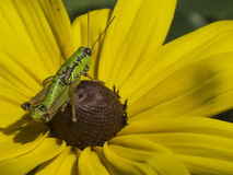 Grasshopper on yellow flower Stock Photos