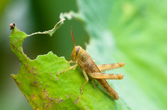 Grasshopper. Young grasshopper eating a leaf Stock Photography