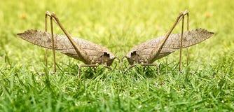 Grasshoppers, δύο αρσενικά που παλεύουν για το πρωτάθλημα, μακροεντολή Στοκ εικόνες με δικαίωμα ελεύθερης χρήσης
