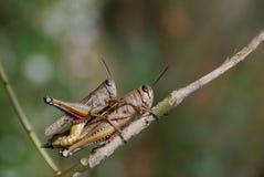 grasshoppers ζευγών Στοκ Εικόνες