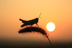 Grasshoppers και αλωπεκούρος Στοκ Εικόνα