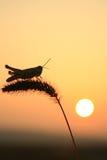 Grasshoppers και αλωπεκούρος Στοκ φωτογραφία με δικαίωμα ελεύθερης χρήσης