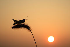 Grasshoppers και αλωπεκούρος Στοκ Εικόνες