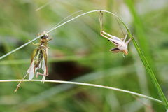 grasshoppers μεταμόρφωση Στοκ φωτογραφία με δικαίωμα ελεύθερης χρήσης